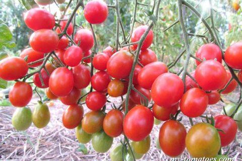 Томат Карамелька: характеристика и описание красного сорта, отзывы об урожайности, фото Семян Алтая, высота куста
