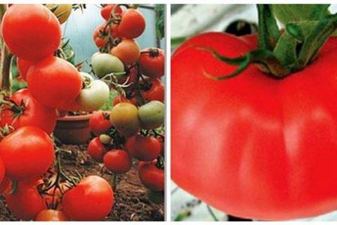 Томат Киржач: описание и характеристика сорта, фото, отзывы, урожайность
