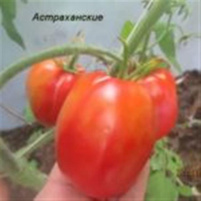 Томат Клад F1. 250 семян. Красный сверх ранний индет для теплиц и ОГ. Профупаковка