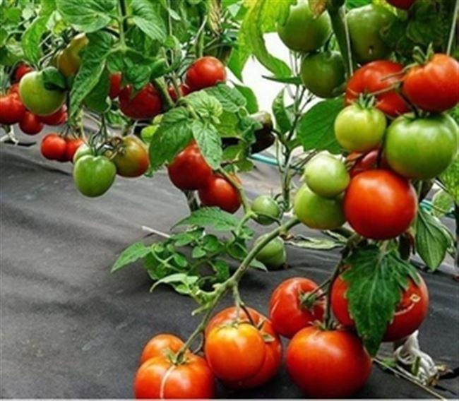 Томат Клуша: фото, описание, выращивание
