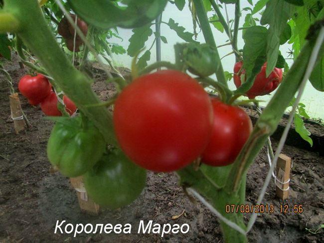 Плоды черри с пикантным вкусом — томат Королева Марго f1: подробное описание