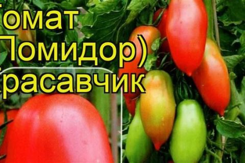 Томат Красавчик: характеристика и описание сорта, отзывы, фото, урожайность