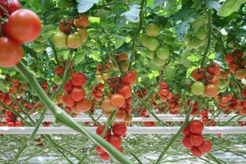 Томат Красная стрела F1: описание раннего сорта, фото, отзывы тех, кто выращивает, посадка и уход, урожайность гибрида