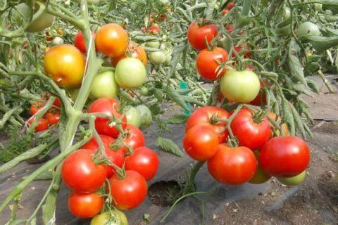 Томат Красный петух: характеристика и описание сорта, отзывы, фото, урожайность