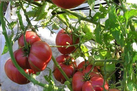 Томат Кремлевский F1 — фото урожая, цены, отзывы и особенности выращивания