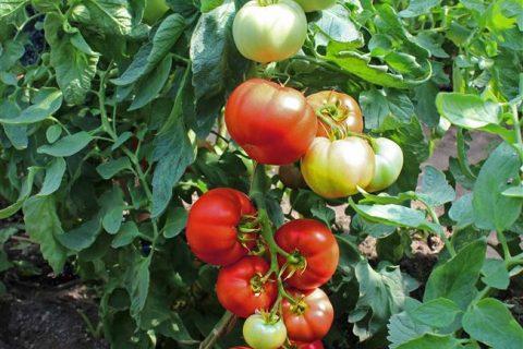 Томат Кума: отзывы об урожайности, характеристика сорта, фото семян
