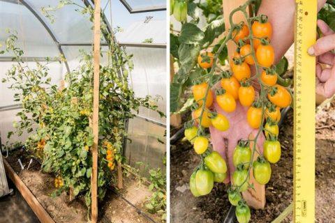 Мы в шоке! Желтые черри в теплице! Томат Магнифика, обзор семян фирмы ПАРТНЕР.