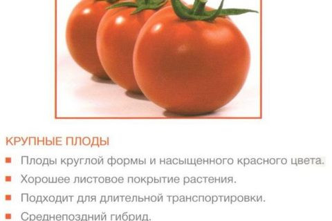 Майсалун — сорт растения Томат