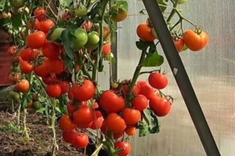 Томат Мамуля F1 — фото урожая, цены, отзывы и особенности выращивания