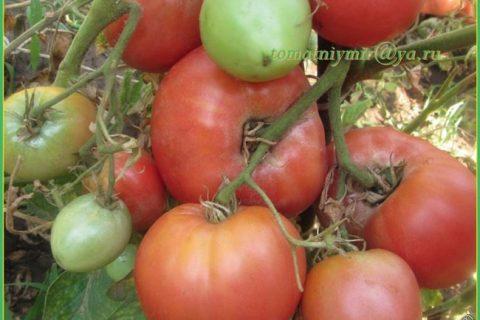 Томат Марианна F1: описание и характеристика сорта, урожайность с фото