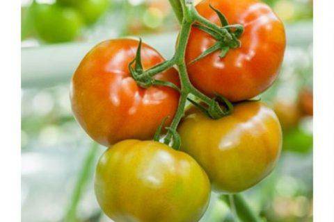 Монте Негро (Negro de Monte) | Семена редких сортов томатов
