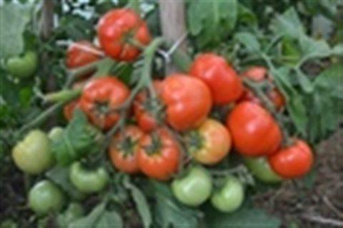 томаты, помидоры Неаполь сорт семена, фото, описание, характеристики