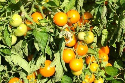 Томат Нивица F1 — фото урожая, цены, отзывы и особенности выращивания