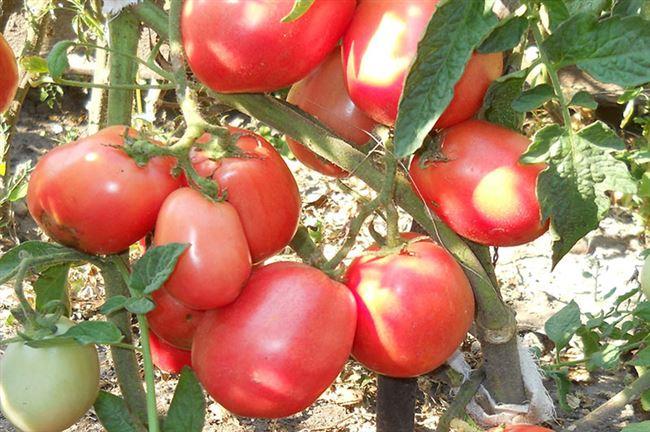 Томат Новичок Делюкс: описание сорта, фото, урожайность, отзывы дачников