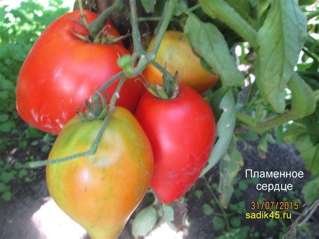 Холодостойкий томат с именем Огненное сердце F1: общее описание, агротехника, отзывы