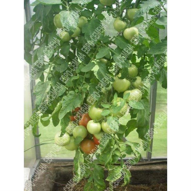 Томат Пампушка F1 цв/п 10 шт., раннеспелый, дет - до 130 см, плоды округлые, красные, до 300 гр.