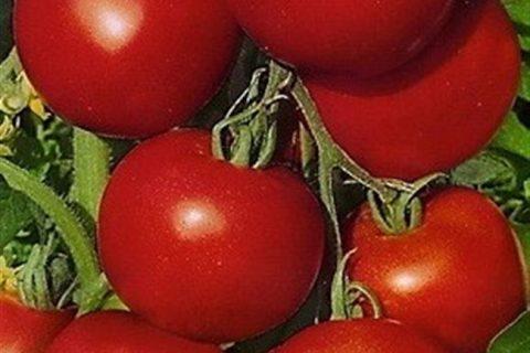 Томат Памяти Мариса F1: отзывы об урожайности помидоров, описание и характеристика сорта, фото семян