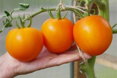 Томат, Овощные 8653345 ПАРЕЗО F1