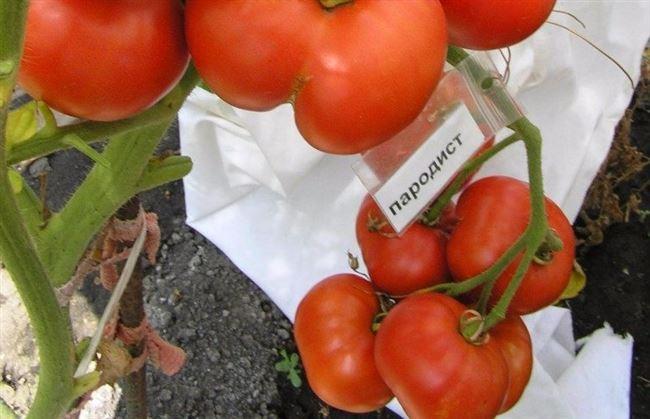 Томат Пародист: фото, описание сорта, его урожайность