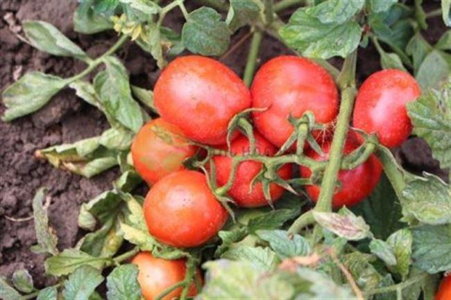 Пейнтбол F1 семена томата индетерминантного (Гавриш)