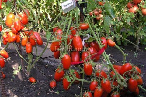 Томат Перцовка: характеристика и описание сорта, фото помидоров, отзывы об урожайности куста