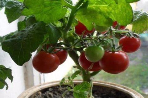 Томат Пиноккио: отзывы, фото, урожайность, описание и характеристика сорта, уход