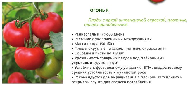 Сорт с аккуратными плодами — томат Пламя Агро: подробное описание помидоров и характеристики