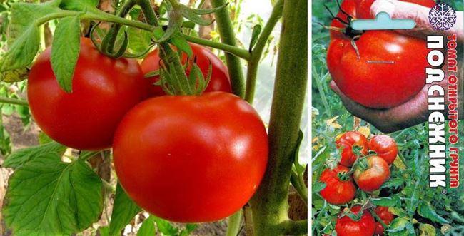 Ранний сорт помидоров — Подснежник