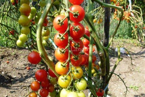 Описание сорта, отзывы, фото Раннеспелый, индетерминантный, урожайный, кистевый сорт томата для теплиц и открытого грунта. Куст высокорослый (до 2-х метров)
