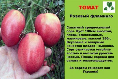 Томат «Розовый фламинго»: сочный и сладкий сорт от агрофирмы «Поиск», характеристики плодов, способ выращивания