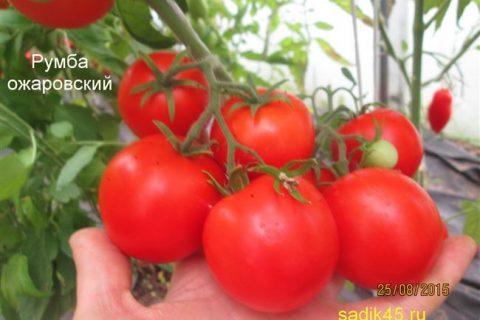 У многих есть свои любимые сорта томатов, которые хотелось бы выращивать из года в год. И это очень удобно: уже известно, как тот или иной сорт плодоносит и показывает себя в условиях открытого и защищенного грунта. Можно планировать место посадок и быть уверенным в урожае.