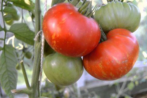 Томат Салют: характеристика и описание сорта, отзывы тех кто сажал помидоры об их урожайности, фото семян