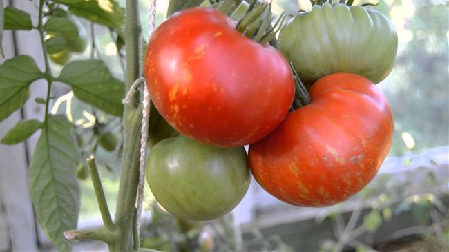 Дачный Салют: как вырастить сливовидный томат, подробное описание и рекомендации садоводов