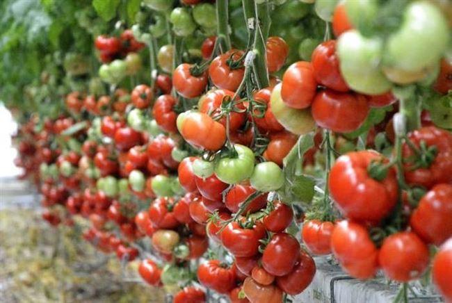 Секреты выращивания томата сорта Самара для богатого урожая