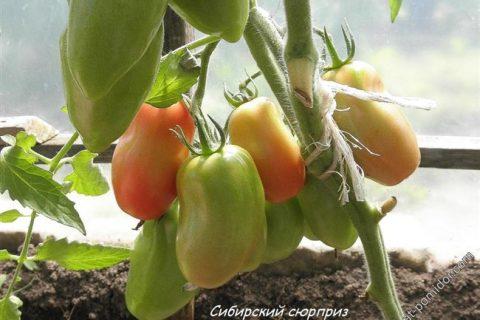 Томат Сибирский сюрприз: отзывы о семенах Сибирский сад, характеристика и описание сорта, фото помидоров