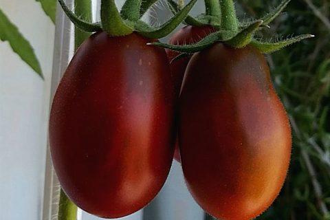 Помидоры сливки: идеальные томаты для зимних заготовок. Какие особенности и характеристики отличают сливовидные сорта от остальных? Правила выращивания и советы по уходу за сортом сливка.