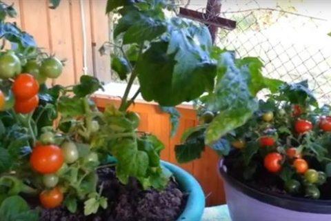 Добрый день дорогие подписчики! Сегодня расскажу вам о томатах, которые можно выращивать на подоконнике или балконе. Не забывайте подписываться на мой канал, ставьте лайки, пишите комментарии.  И первый томат о котором я расскажу-Снегирек.  Миниатюрный суперскороспелый (80-90 дней от всходов до сбора плодов) сорт с обильным плодоношением для выращивания в горшечной культуре на подоконнике и в открытом грунте (особенно хорош для небольших огородов). Растения супердетерминантные, высотой 25-30 см. Плоды массой 25 г, очень сладкие, с высоким содержанием сухих веществ. Урожайность 3,0-4,5 кг/м. В средней полосе России посев на рассаду производят в начале апреля. Пикировку — в фазе первого настоящего листа. Высадка рассады в грунт — в мае в возрасте 30-35 дней. Схема посадки: 30х40 см. Выращивают без формировки. Возможен прямой посев семян в открытый грунт. Технология выращивания комнатного томата на ранних этапах стандартная. Для посева выбирают легкий, питательный, богатый органикой грунт