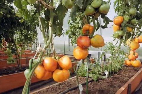 Томат Сокровище инков: отзывы, фото, урожайность, характеристика и описание сорта