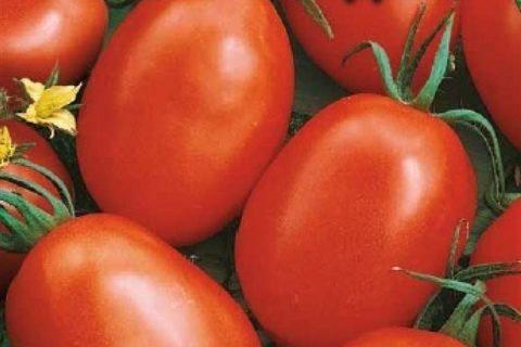 Томат Фаворит 6: описание и характеристики, особенности посадки и выращивания, болезни и вредители, достоинства и недостатки