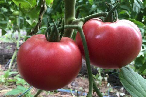 Томат сорта цетус: особенности и выращивание овоща   Lifestyle   Селдон Новости