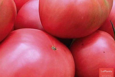 Томат Цунами характеристика и описание, отзывы, фото, урожайность сорта