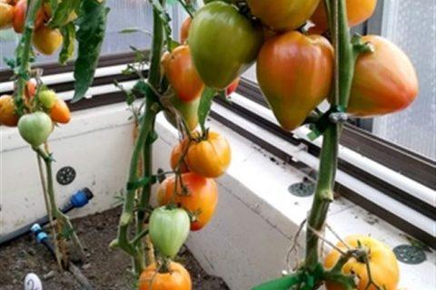 Помогаем выбрать сорта черных томатов. Знакомим с их особенностями и спецификой возделывания. Даем описание лучших сортов черных томатов с фото.