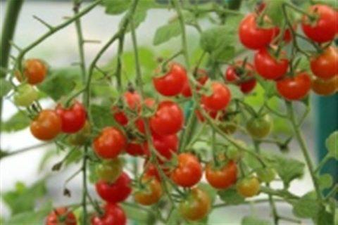 Томат Чудо дерево F1: описание и урожайность сорта, отзывы, фото