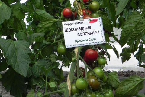 Черри — томат Шоколадные яблочки F1для теплиц, очень урожайный. Раннеспелый… | Интересный контент в группе Урожайка