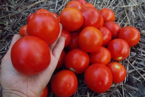 Томат Ямал: описание и характеристика сорта, особенности выращивания помидоров, отзывы тех, кто сажал, фото