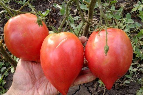Томат Японка: где взять семена, правильный посев и уход. Плюсы и минусы сорта, как пересаживать, нужно ли удобрять и чем, мнение эксперта.