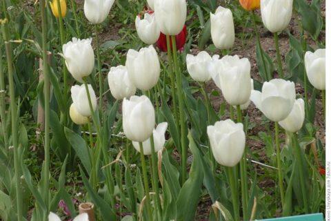 Простые поздние тюльпаны описание сортов с фото.