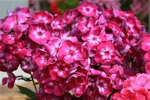 Флоксы красные и розовые – подборка популярных сортов с кратким описанием характеристик, особенностей и сроков цветения, фото.
