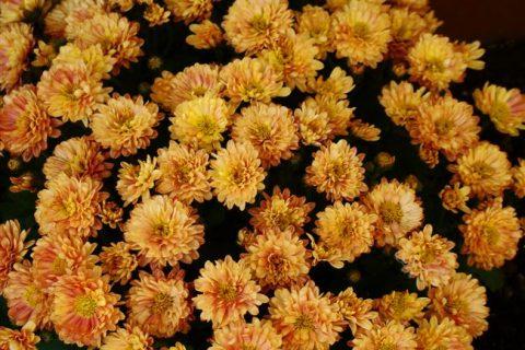 Подборка зимостойких, неприхотливых сортов садовых хризантем с описанием и краткой агротехникой выращивания.