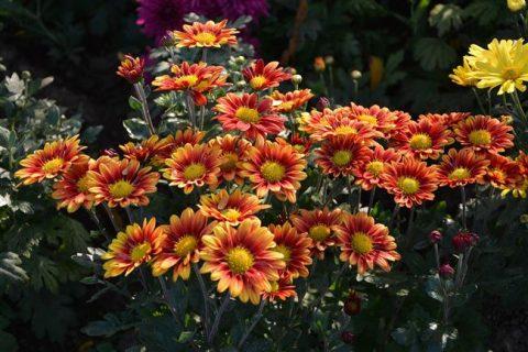 Хризантема килеватая: фото и описание, выращивание рассады из семян, использование в саду